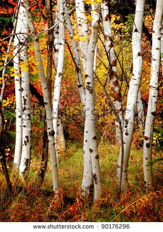 Photos Of White Birch Trees In The Winter Fall With Autumn Leaves Background Stock Photo