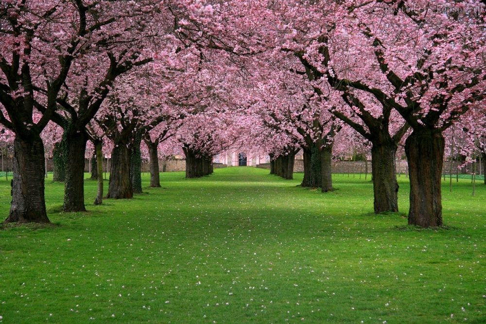 These Stunning Photos Of Japanese Cherry Blossoms Will Fill You With Wonder Japanese Cherry Blossom Cherry Blossom Wallpaper Landscape Pictures