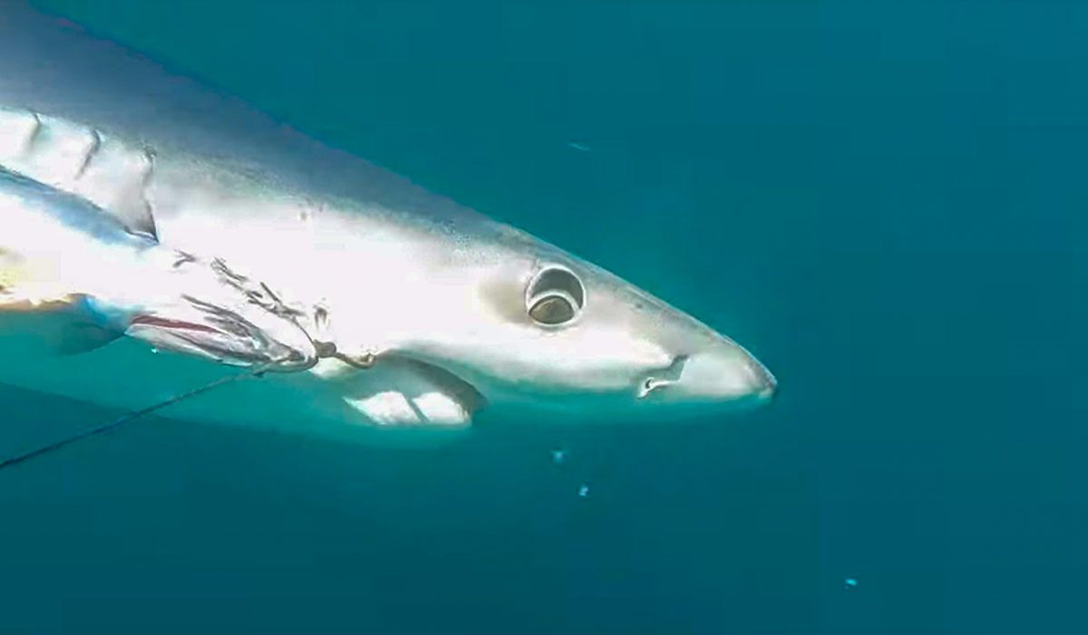 Blue Shark Fishing In A Small Boat Off Cornwall Shark Fishing Blue Shark Sea Fishing