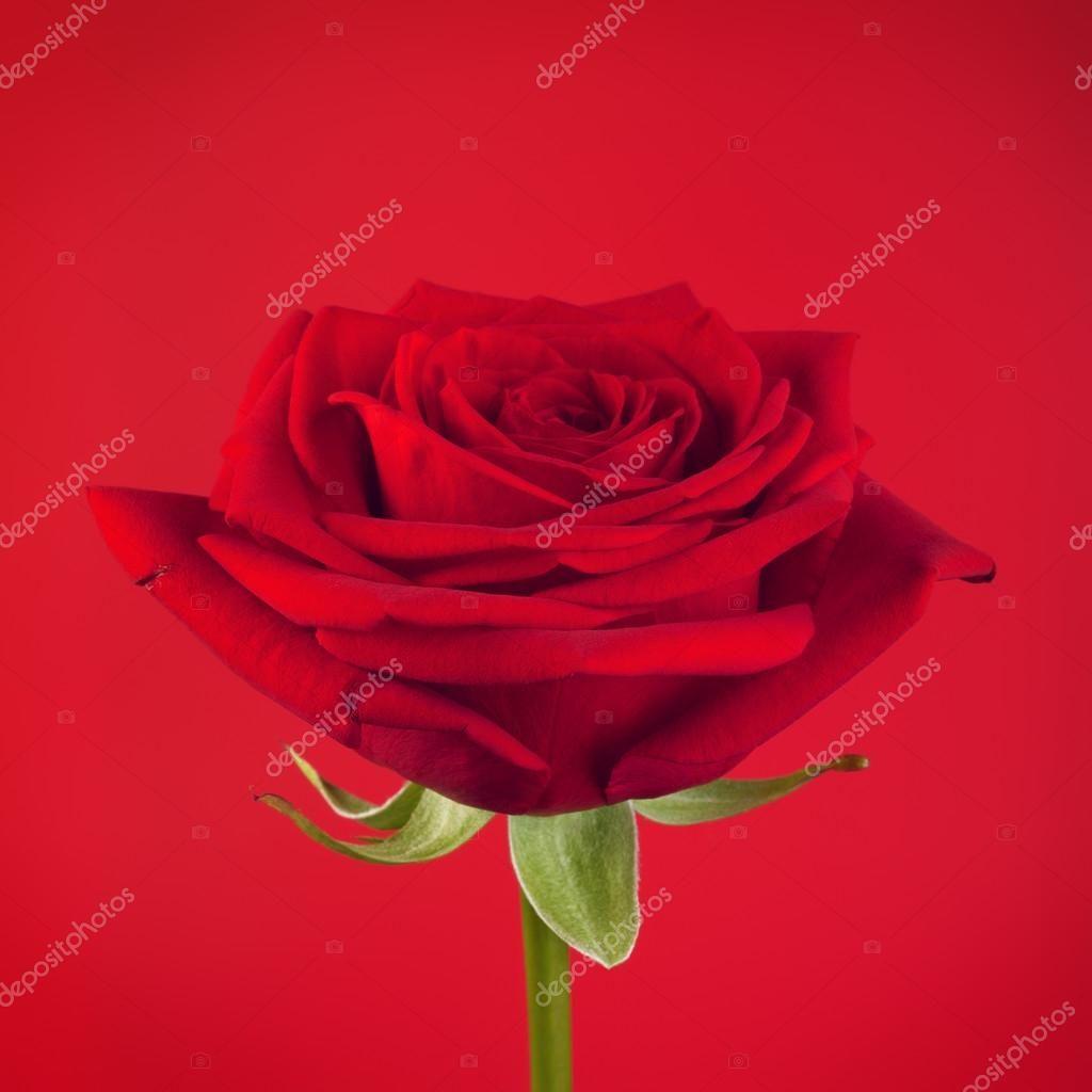 Baixar Flor Rosa Vermelha Imagem De Stock Flores Rosas Rosa