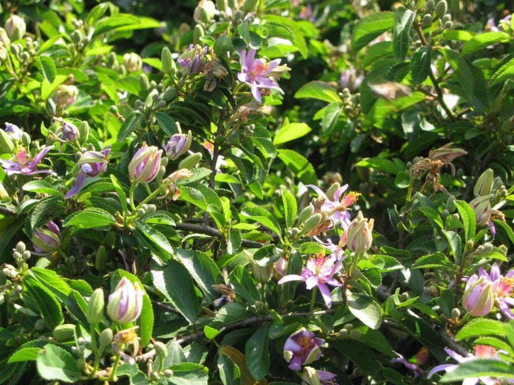 Grewia Occidentalis Caffra Plants Star Flower Flowers