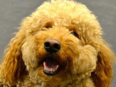 Compare Dogs Cavapoo Vs Miniature Goldendoodle Detailed Info On