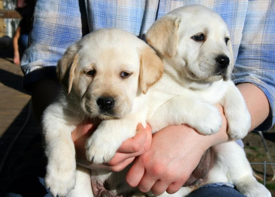 Brooks Labradors They Could Be Mistaken For Royal Princes You