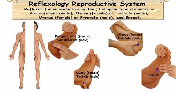 Reflexology Reproductive System Reflexology Reproductive System Alternative Medicine Natural Treatments
