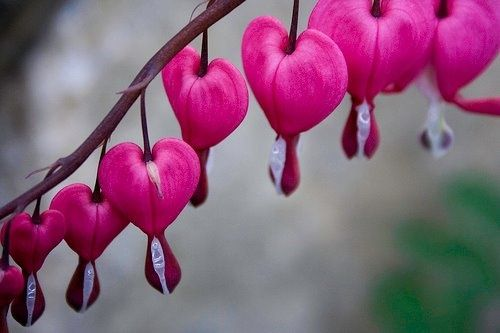bleeding heart...another flower with an old soul