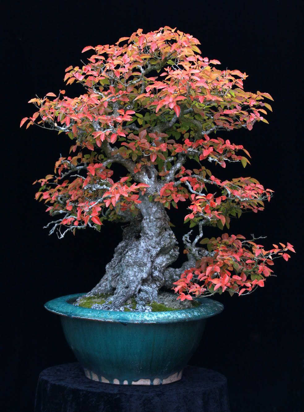 Gran nebari! La olla pequeña ronda muestra las raíces haciendo que el árbol parece grande y antigua, grande y cónica posicionamiento rama demasiado