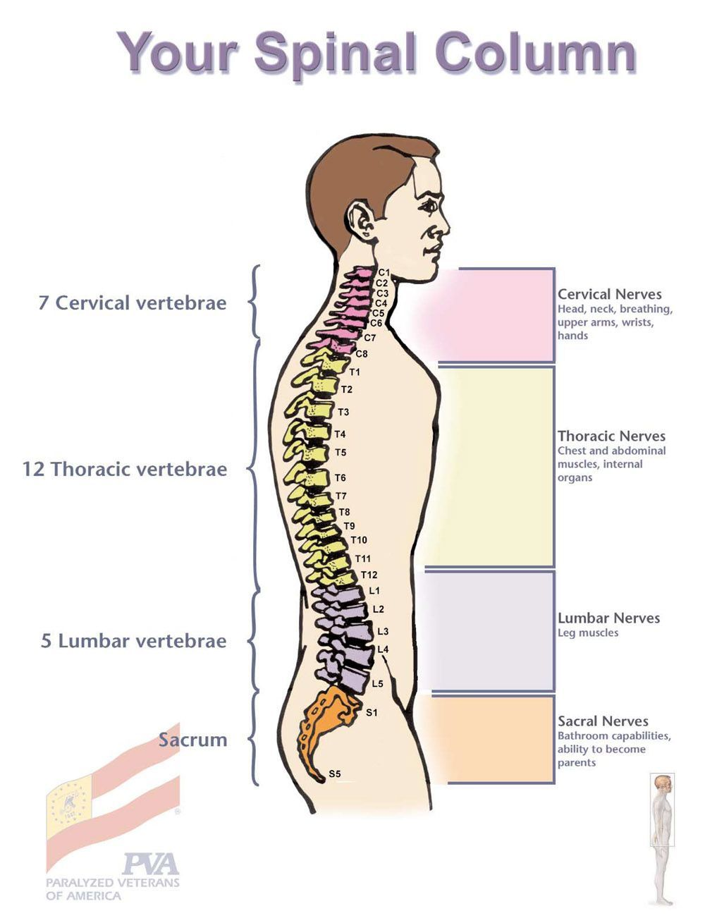 Breaking down the parts of the spine. | the dragons | Pinterest