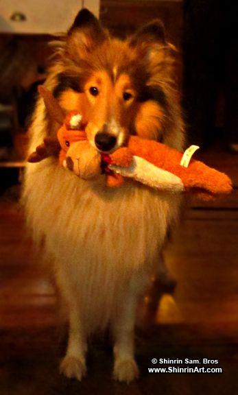 Castle Hill Cafe con Leche Yuki - Collie Fan - Tags: dogs lassie rough collie purebred cute big fluffy dog show.
