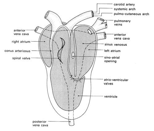 The vertebrate heart in action structure of the frogs heart 500 the vertebrate heart in action structure of the frogs heart 500 ccuart Choice Image