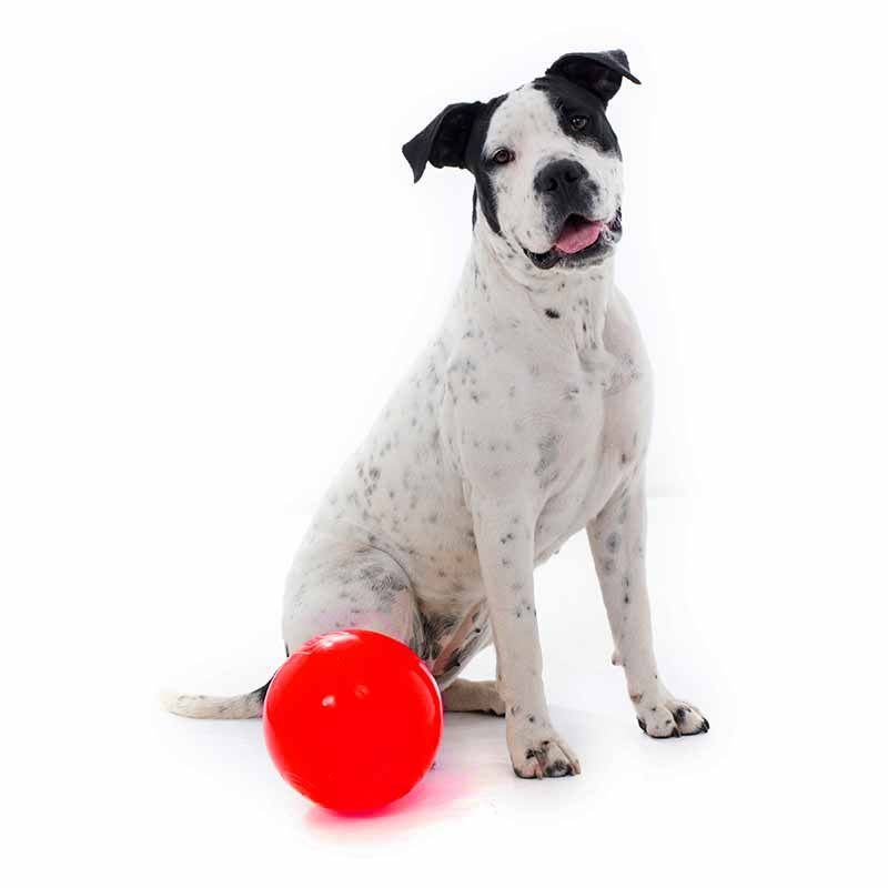 Dog Sitting With An Extra Large Red Tucker Ball For Kibble Dog
