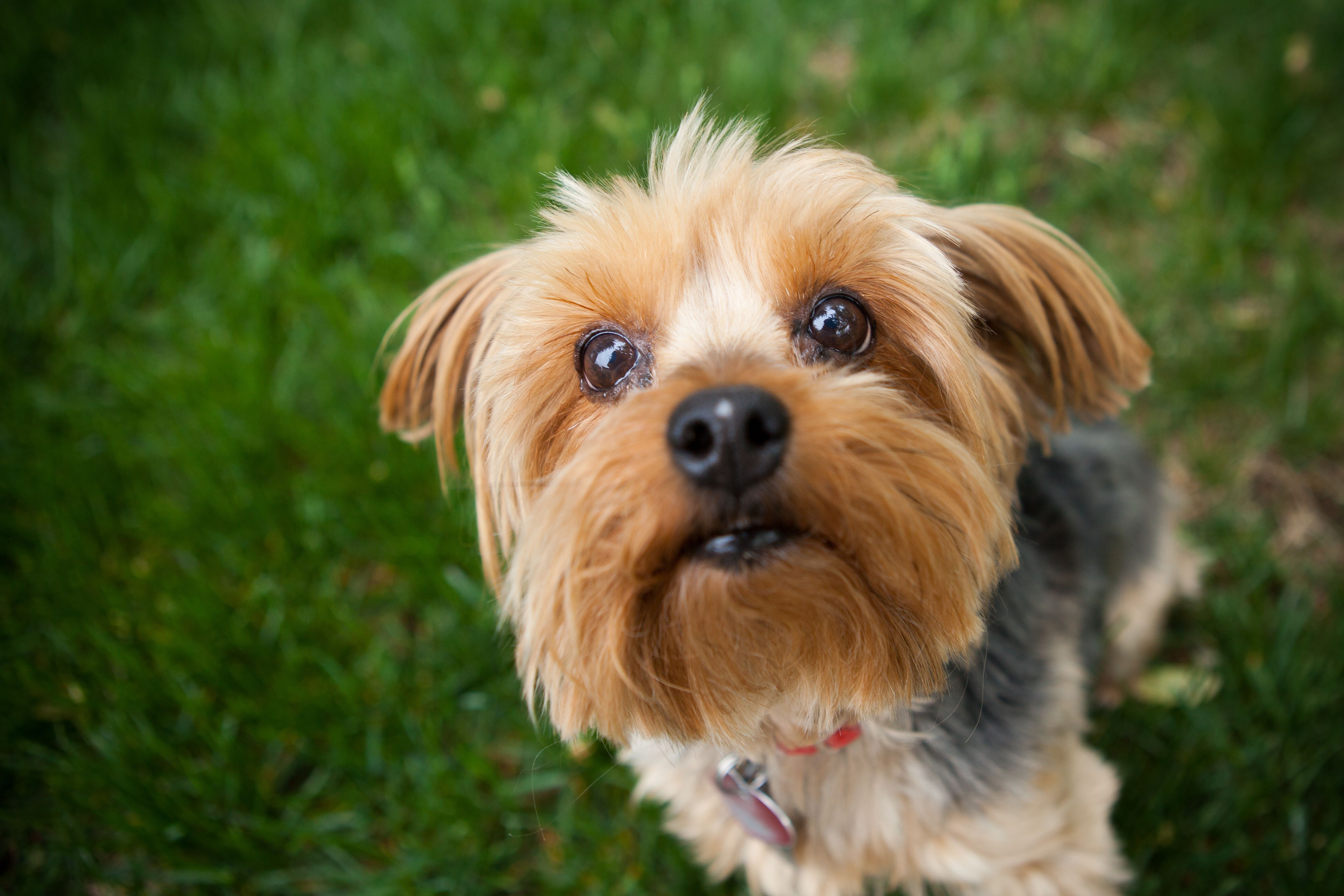 The Best Small Dog Breeds Yorkshire Terrier Yorkshire Terriers
