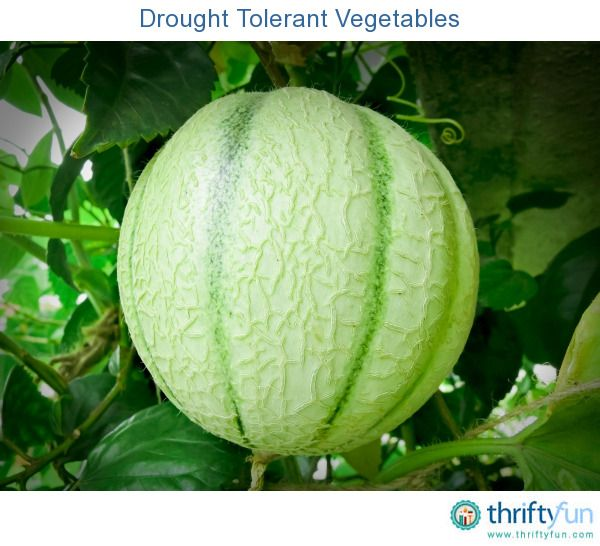 Growing Drought Tolerant Vegetables With Images 400 x 300