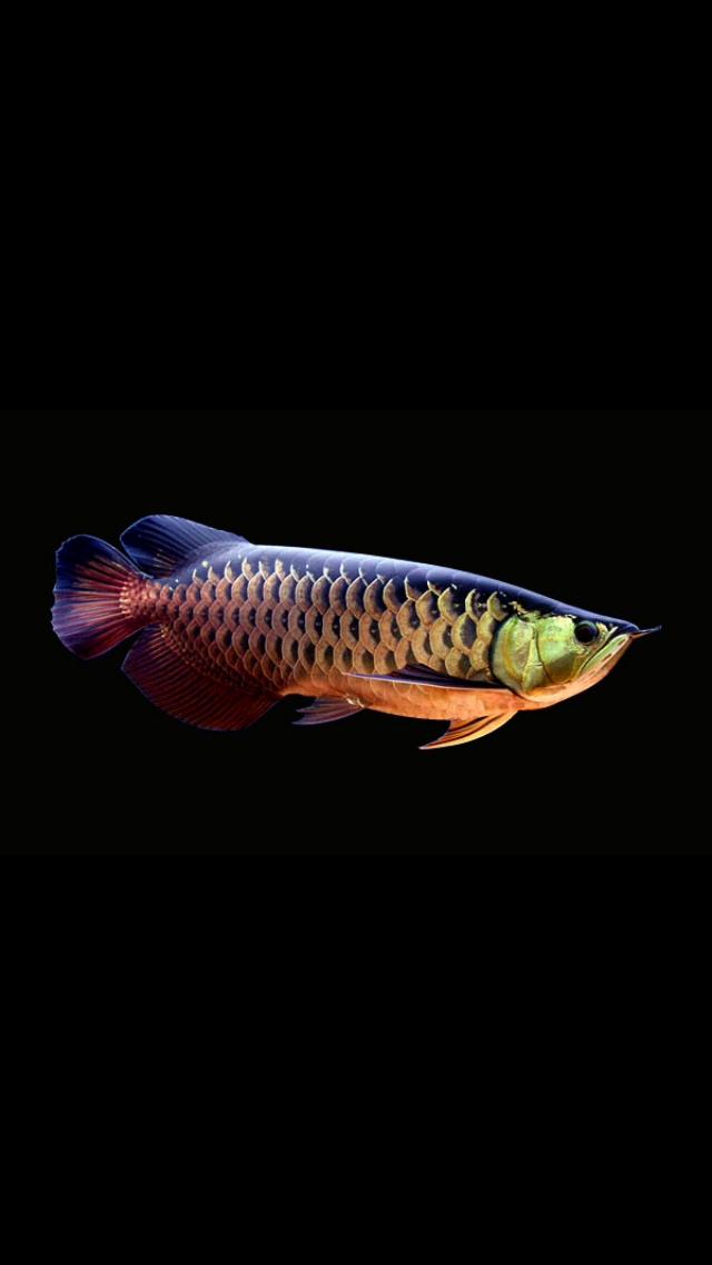 Arowana Ikan Akuarium Ikan Eksotis Ikan Cupang