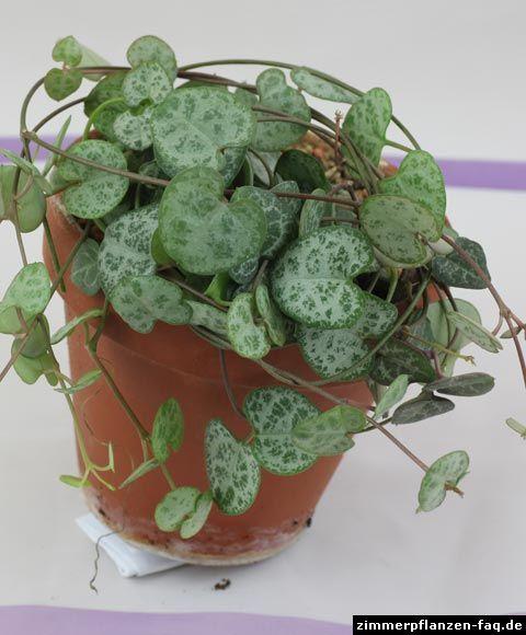 Ceropegia woodii Leuchterblume plants Pinterest - tipps pflege pflanzen wintergarten