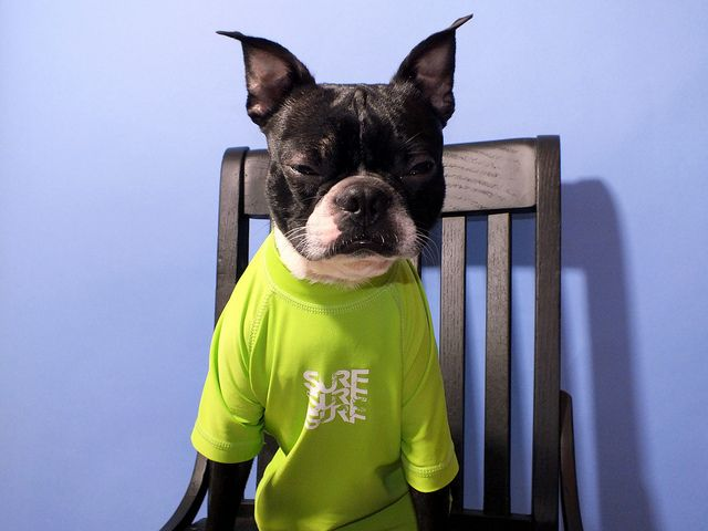 Boston Terrier in chartreuse shirt