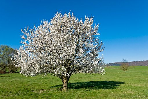 blackthorn tree - photo #32