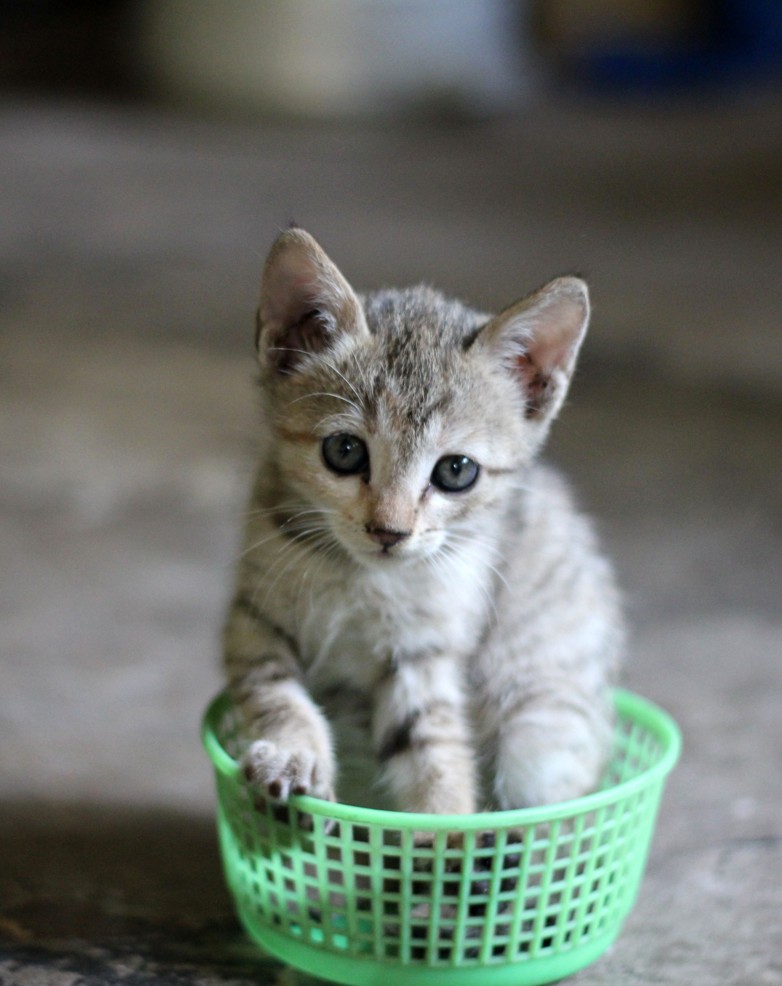 In the Green Basket. Polydactyl cat, Kittens cutest