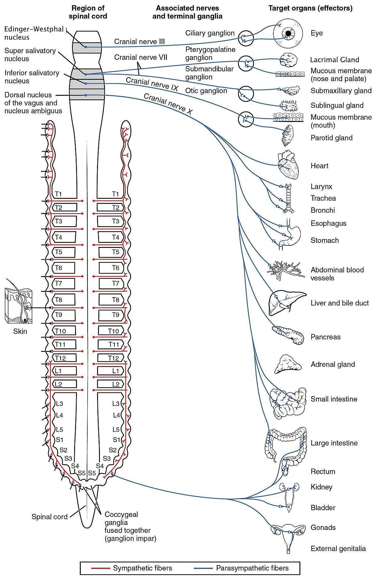 Autonomic nervous system Wikipedia Autonomic nervous