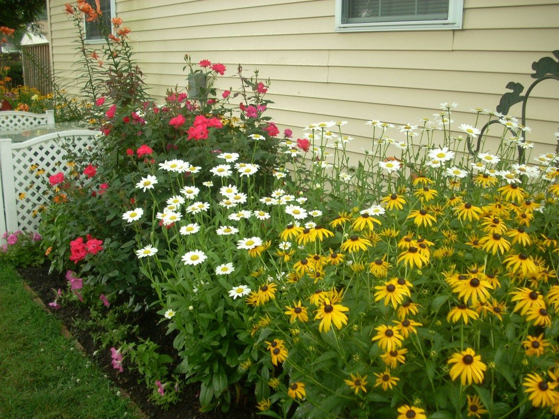 Rubeckia shasta daisies knockout roses in the garden rubeckia shasta daisies knockout roses izmirmasajfo
