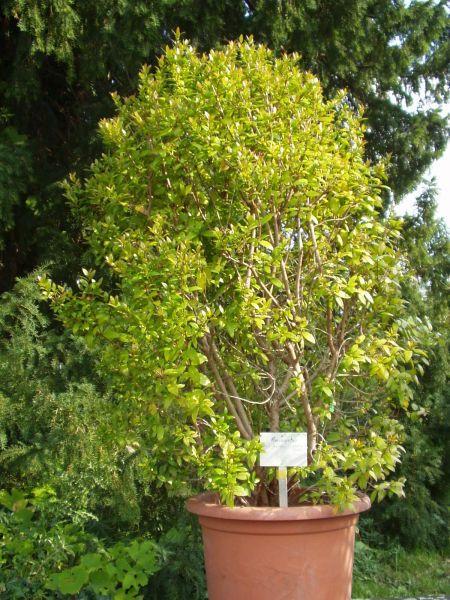Amomyrtus Meli Botanischer Garten Berlin Dahlem Botanischer Garten Berlin Garten Berlin Botanischer Garten