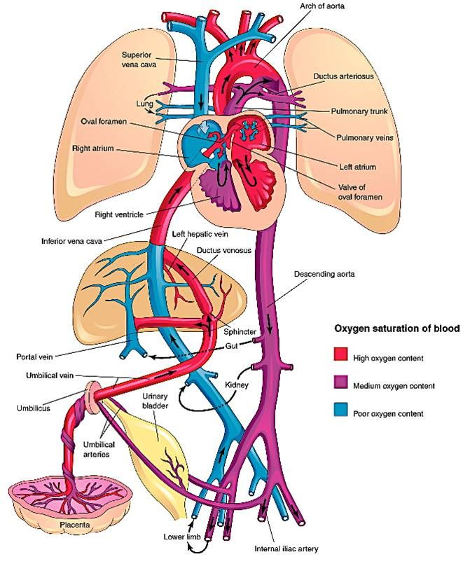 Fetal Circulation Medical Anatomy Medical Knowledge Human Anatomy And Physiology