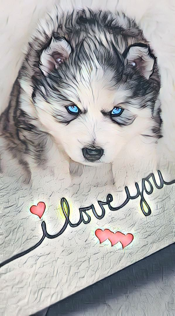 Precious Baby Siberian Husky Puppy In 2020 Husky Siberian