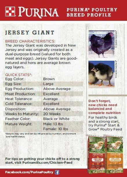 Jersey Giant Meat Chickens Breeds Chicken Breeds Best