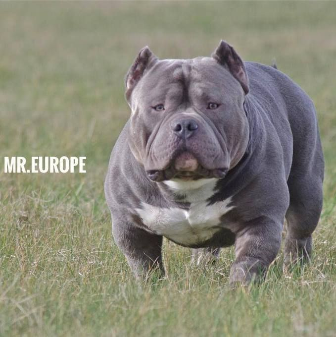 American Bully Mr Europe Of Teambully Amsterdam Bully Dog