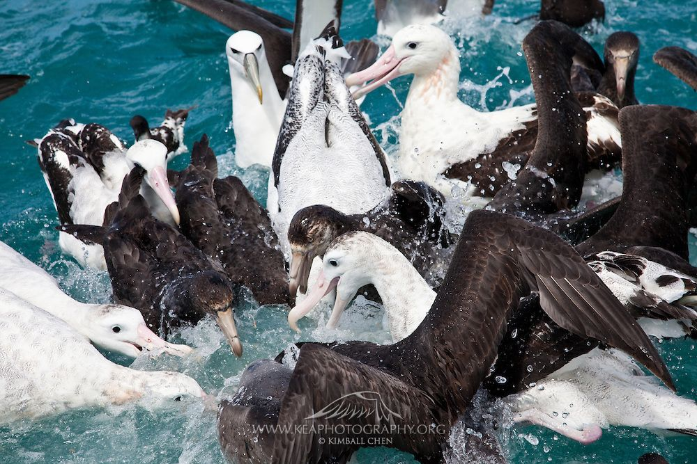 Image result for images of albatrosses feeding on the sea