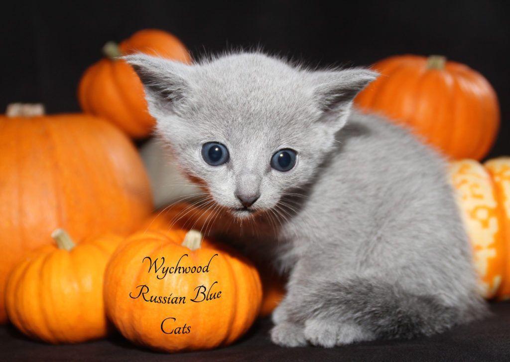 3 Week Old Baby Russian Blue Kitten Www Wychwoodrussianbluecats Co Uk Russianbluecat Russian Blue Russian Blue Cat Blue Cats