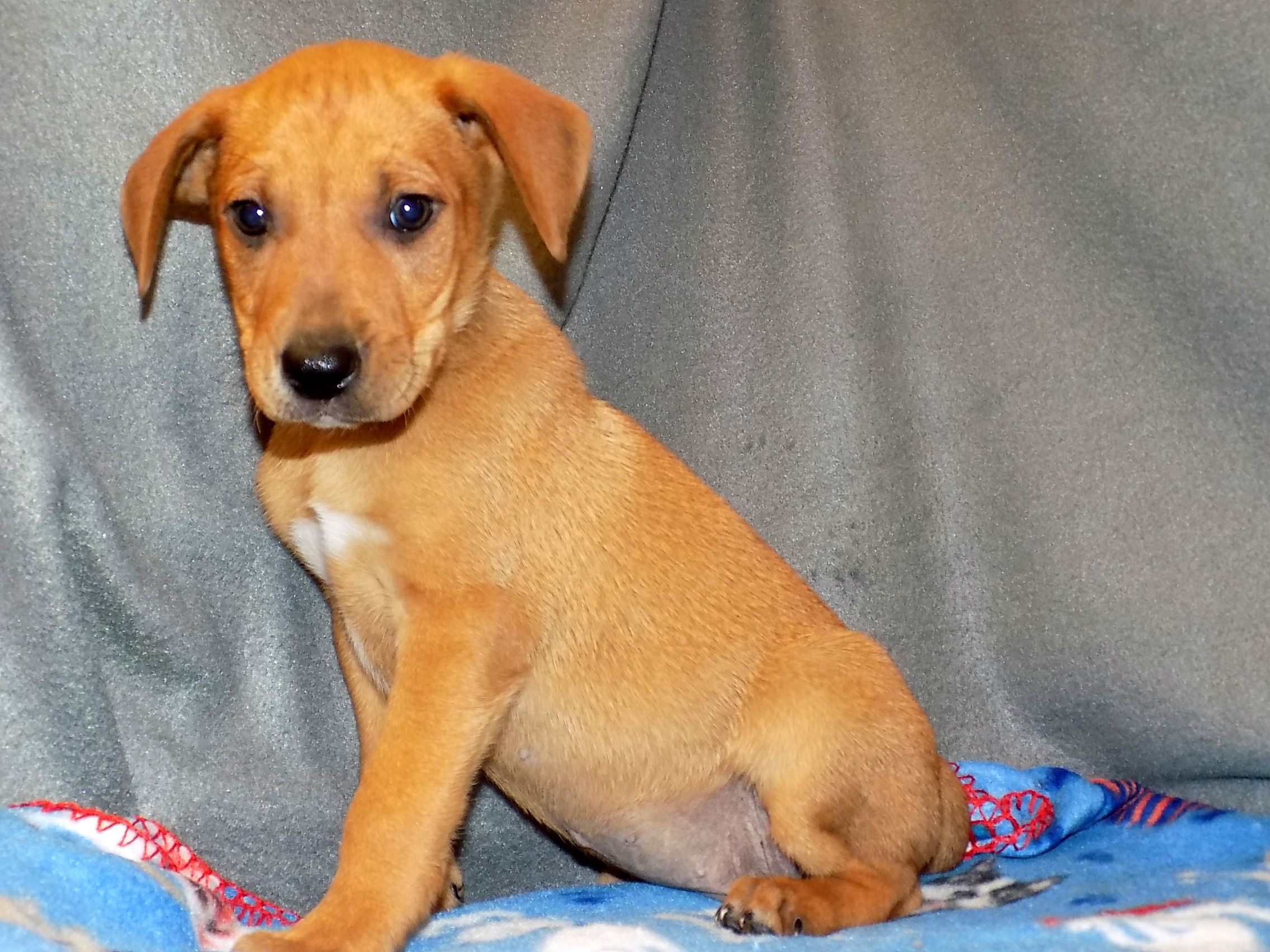 Boxador dog for Adoption in York, SC. ADN757044 on
