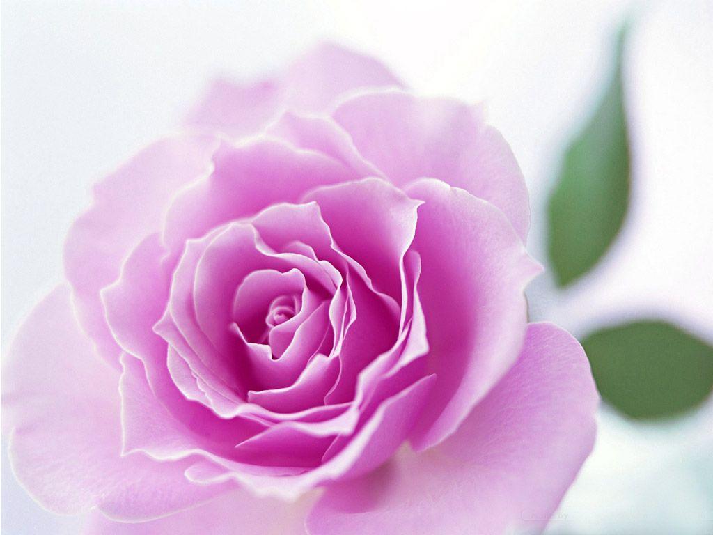 40 beautiful flower wallpapers free to download wallpaper free 40 beautiful flower wallpapers free to download izmirmasajfo