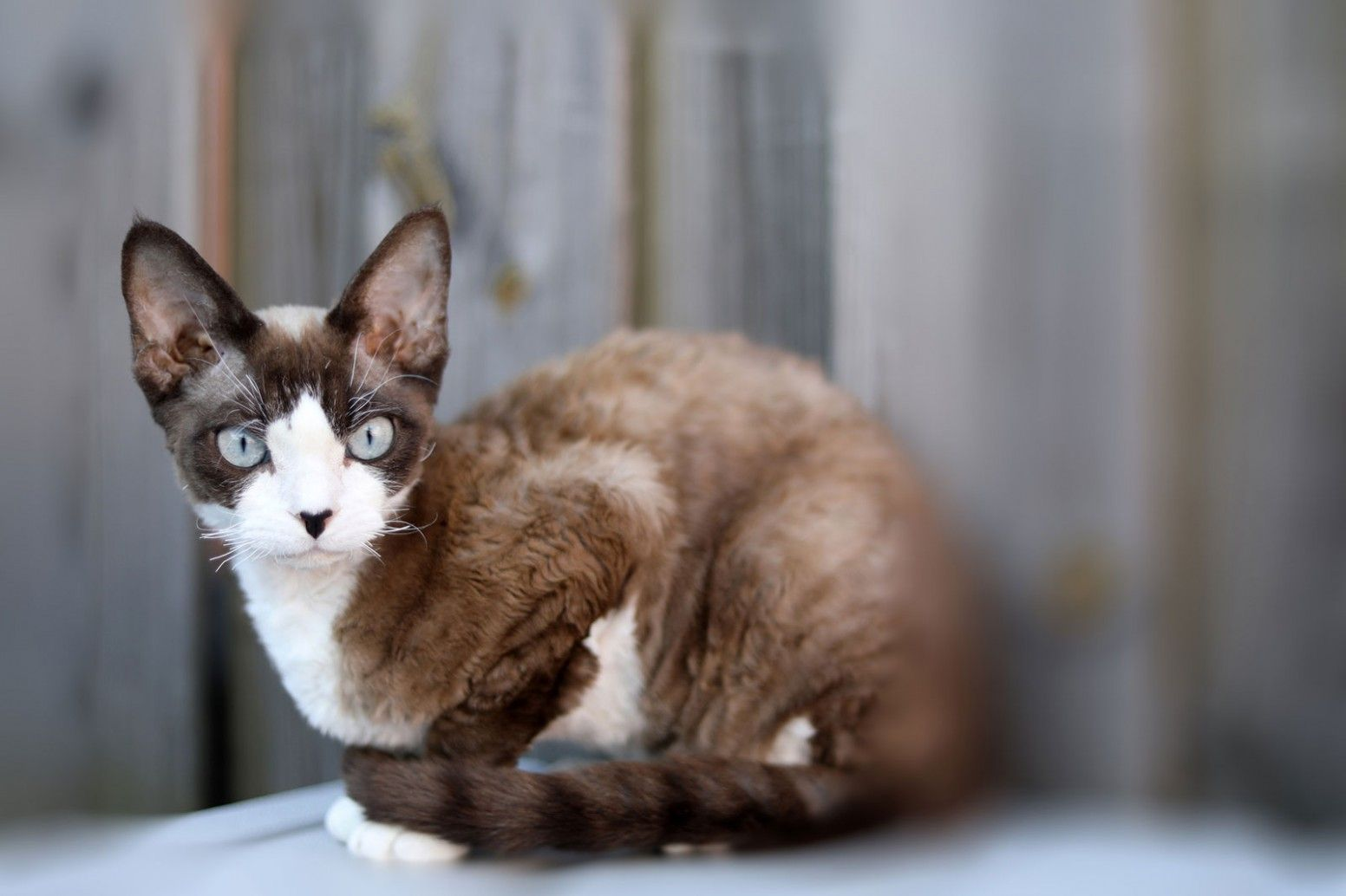 12 Best Devon Rex Munchkin Cat In 2020 Munchkin Cat Devon Rex Cats Devon Rex