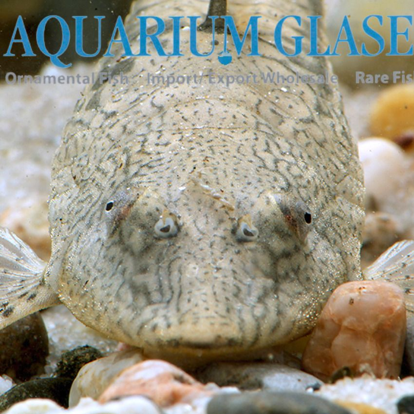 Sturisomatichthys Leightoni Aquarium Glaser Gmbh In 2020 Plecostomus Fish Pet Tropical Fish