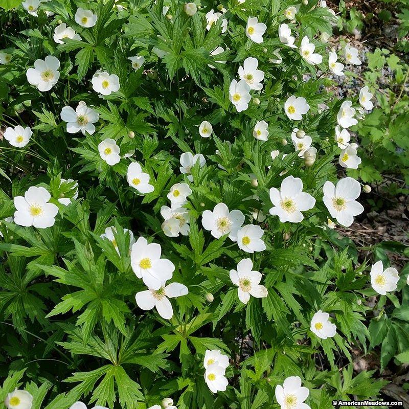 Canada Anemone Seeds Shade perennials, Ground cover