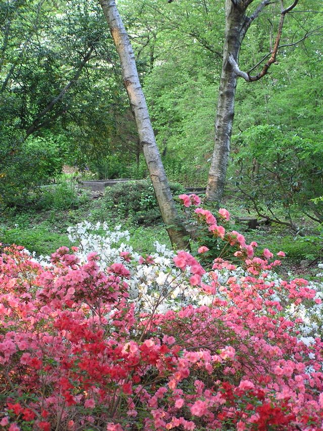Beautiful azaleas at Laurelwood Arboretum, Wayne, NJ | Outdoors ...