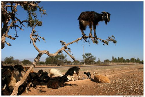 Goat on a limb.  Most likely a Moroccan Goat. GOATS ON THINGS.  Awesome website!