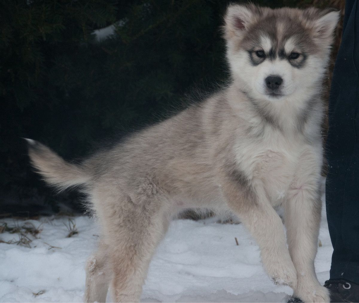 Alusky Alaskan Malamute And Siberian Husky Mix Mixed Breed