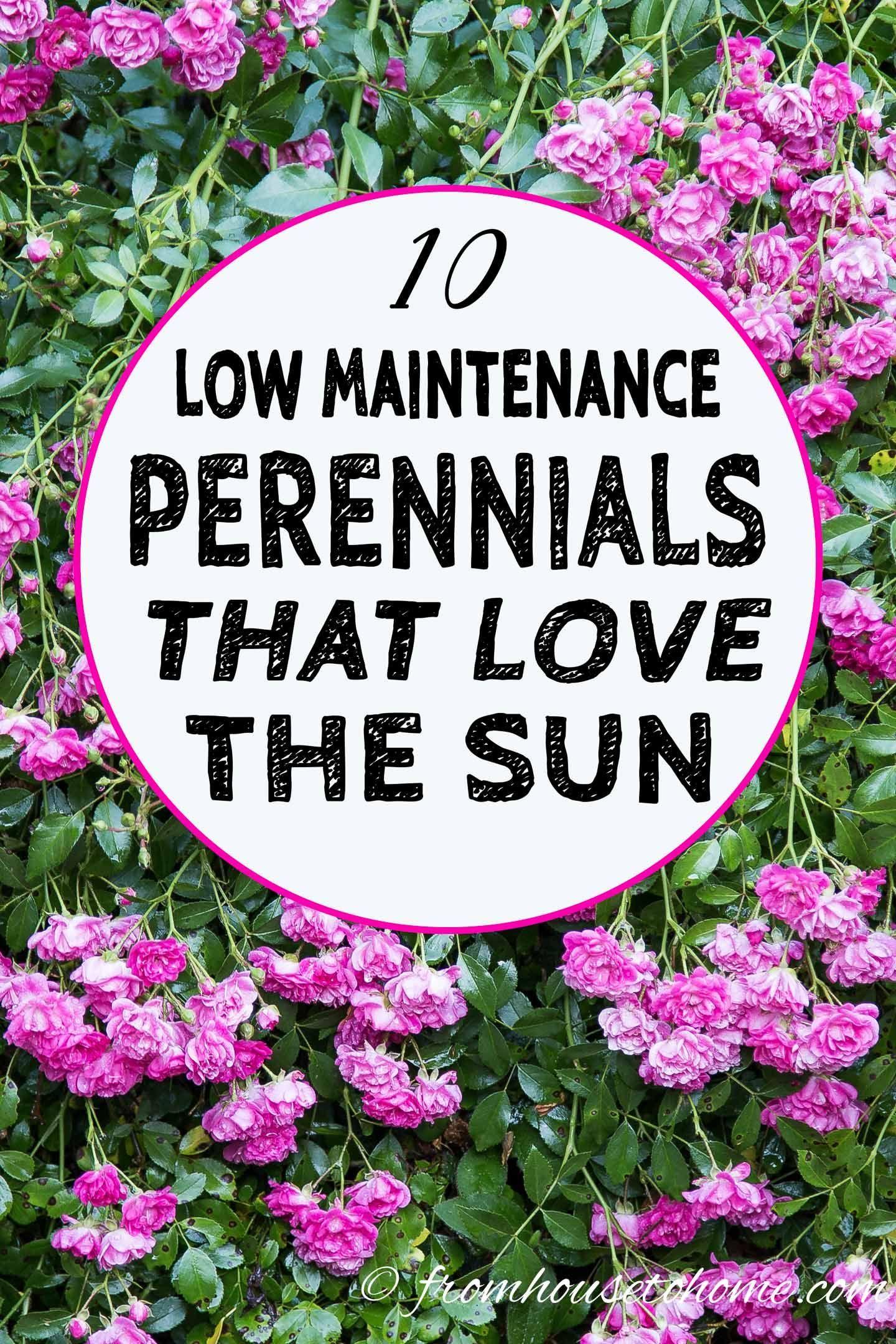 Full Sun Perennials 15 Beautiful Low Maintenance Plants That Thrive In The Sun Gardening From House To Home Full Sun Perennials Full Sun Garden Sun Perennials