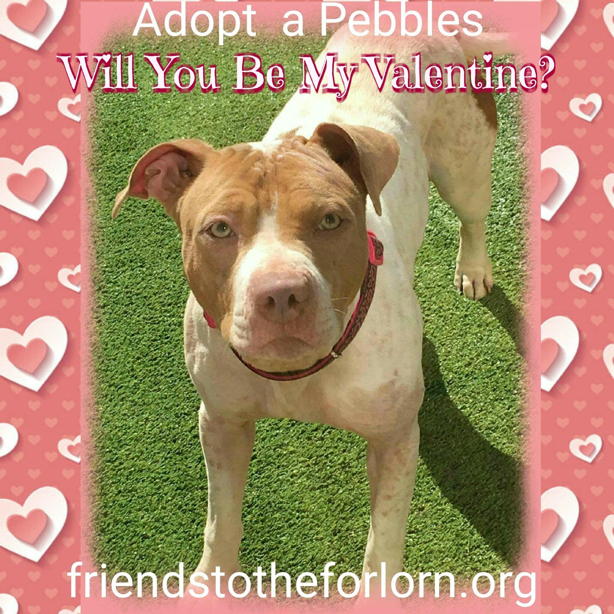 Adopt A Bulls Adoption Pets Pitbull Terrier