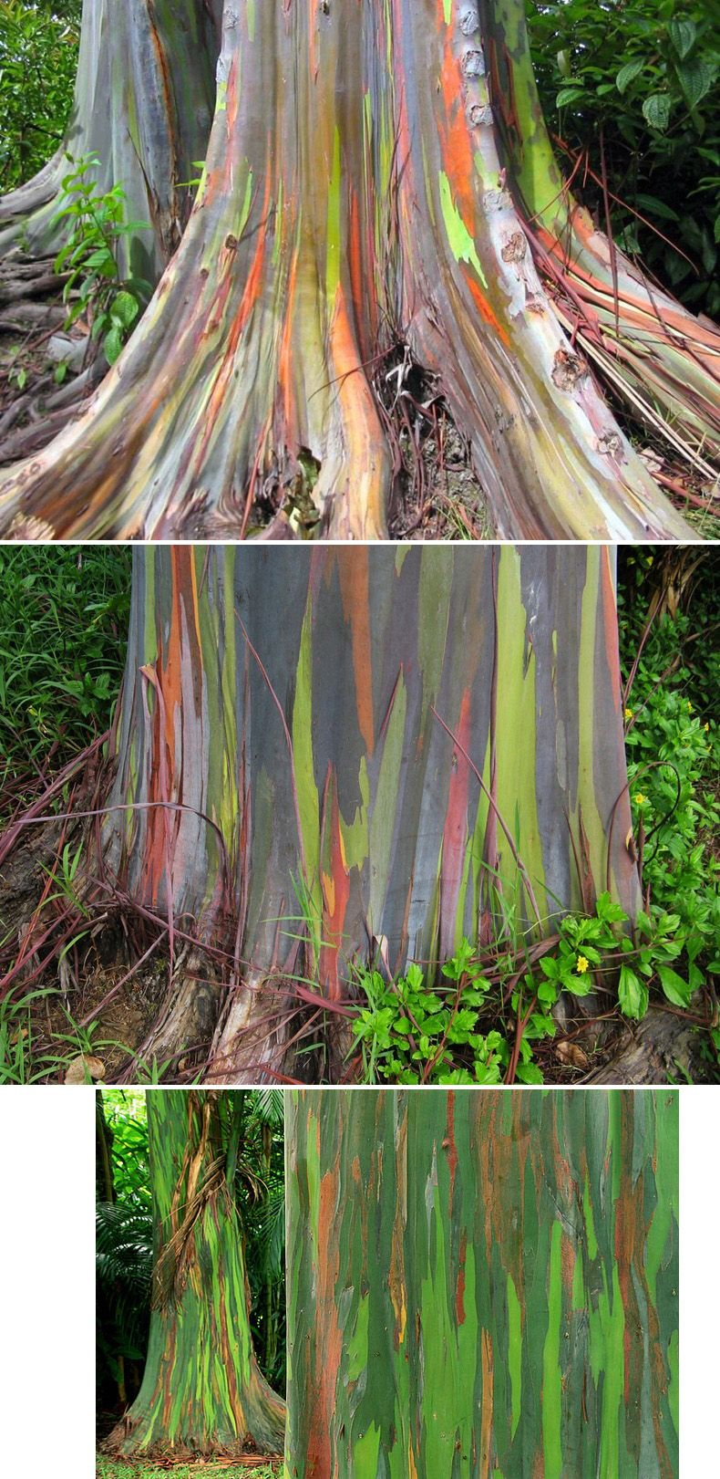 Rainbow Eucalyptus Tree It looks painted but it actually colored ...