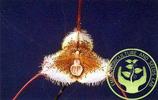 Barato Peru Monkey King sementes de orquídeas Phalaenopsis sementes Bonsai flor de plantas, Compro Qualidade Bonsia diretamente de fornecedores da China:  Phalaenopsis com posição da flor acontece como borboletas esvoaçantes chamado , é único hastes de orquídeas , mas o tro