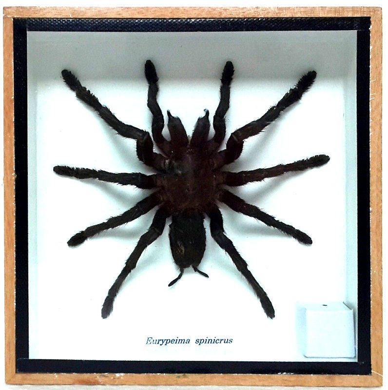 Real Tarantula Spider, Taxidermy, Framed Insect Display, Eurypeima ...