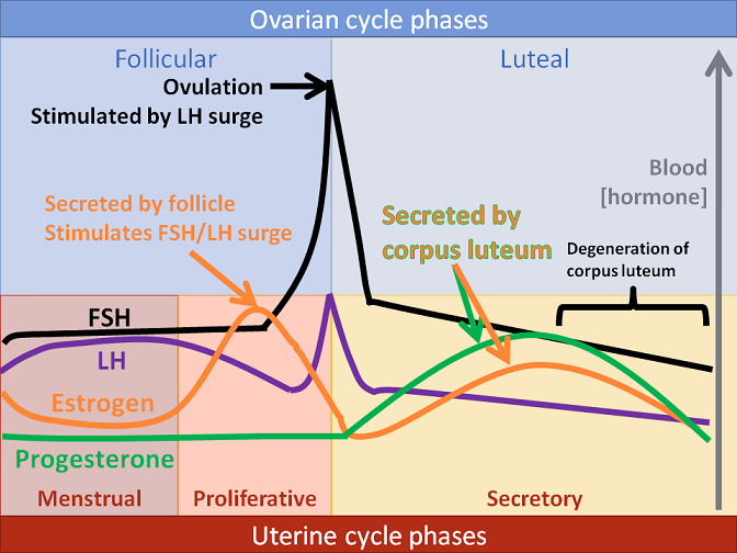 female hormone cycles also anatomy  physiology pinterest rh