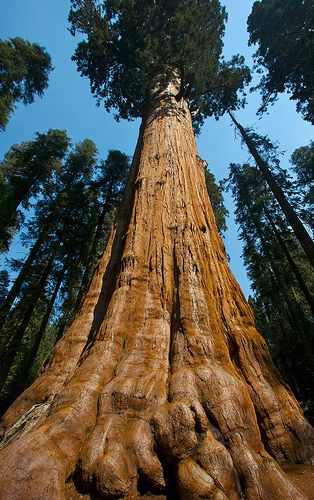 Largest Tree In The World Parques Nacionais Arbustos E Imagens