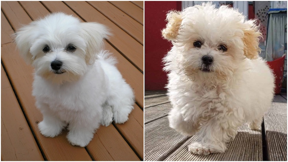 Maltese Vs Maltipoo Maltipoo In 2020 Maltipoo Puppies For Sale Maltipoo Puppy Teacup Puppies Maltese