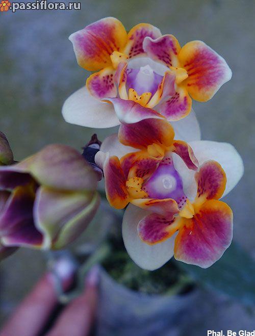 Phal. Be Glad миниатюра | Цветки орхидеи, Орхидеи, Орхидея