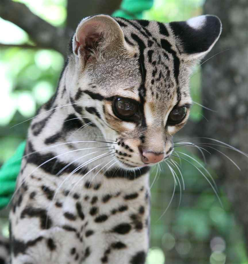 The Exotic Jungle Looks And Wild Ocelot Cat Cat Breeds