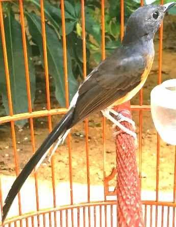 Perbandingan Harga Murai Batu Singapura Dan Vietnam Murai Burung Singapura