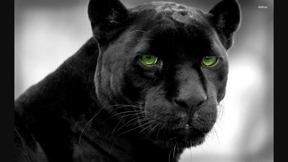 Pin By Artsoulistic By Delvia On Black Panthers Black Jaguar Animal Jaguar Animal Black Panther Hd Wallpaper